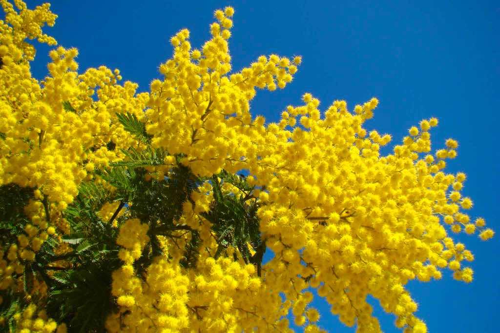 Mimosa met Internationale Vrouwendag in Italië