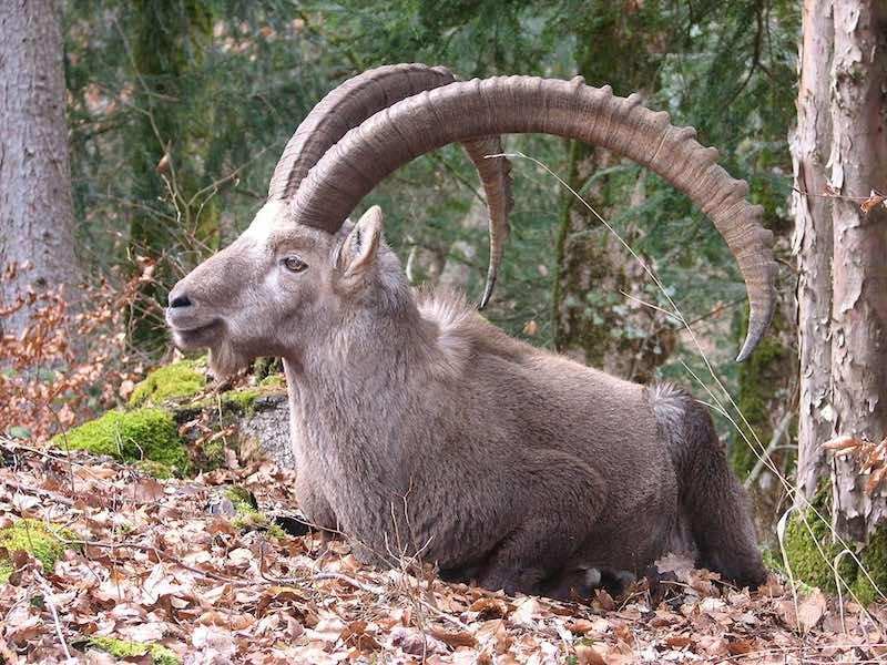 De Alpine ibex