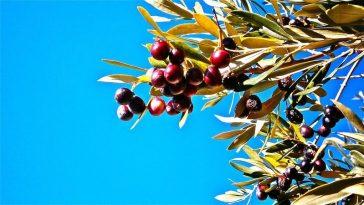 olijfolie uit Italië