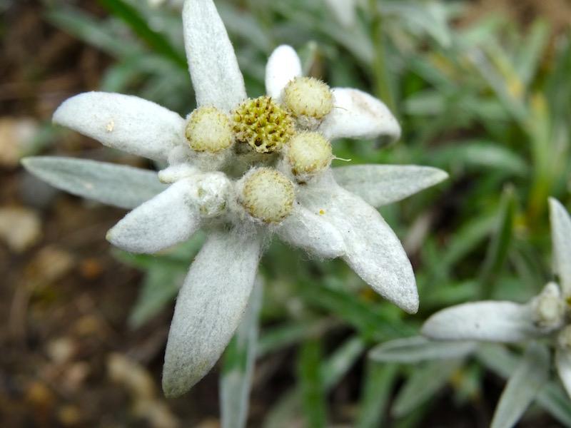 De edelweiss heet in het Italiaans 'stella alpina'