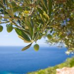 De idylle van olijven plukken