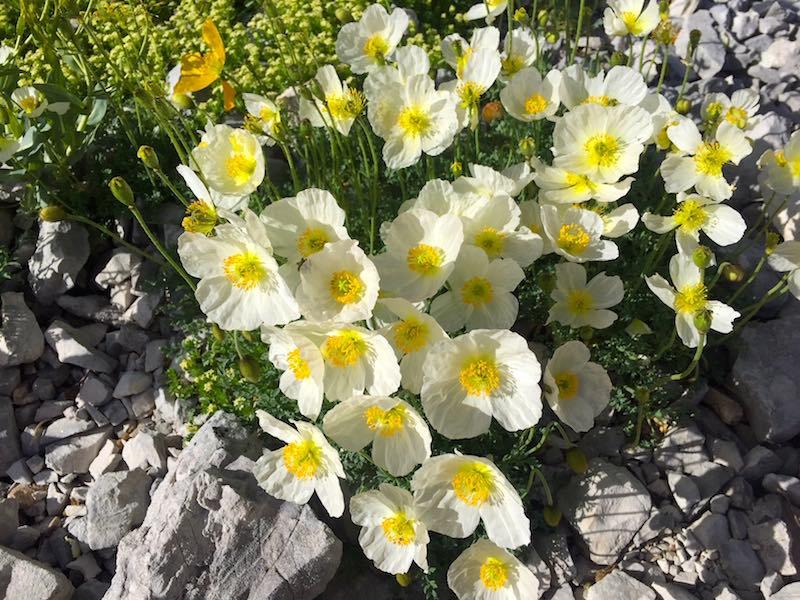 Mooie bloemen in de Gran Sasso