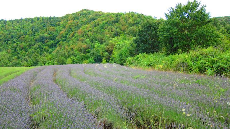 Het lavendelveld van Camping Sensazione