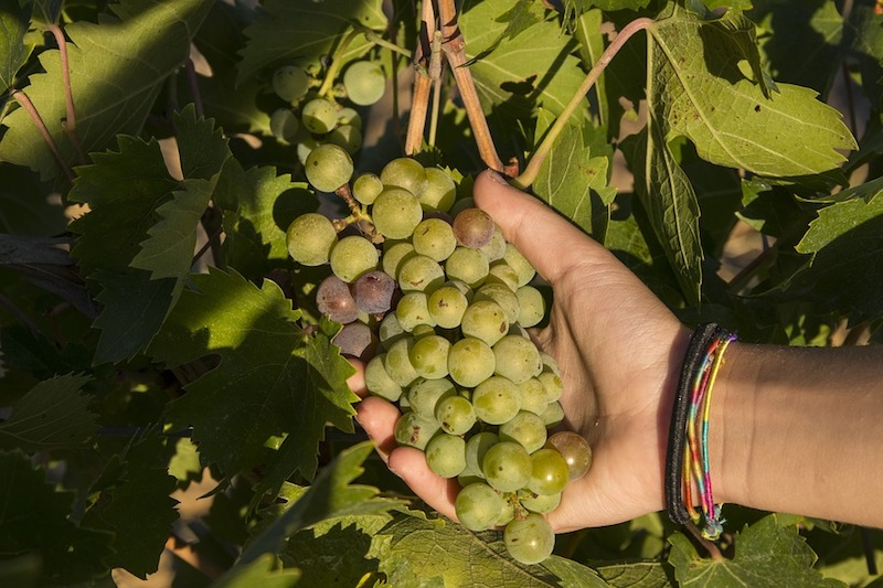 Vendemmia 2018 - een grote wijnoogst in Italië