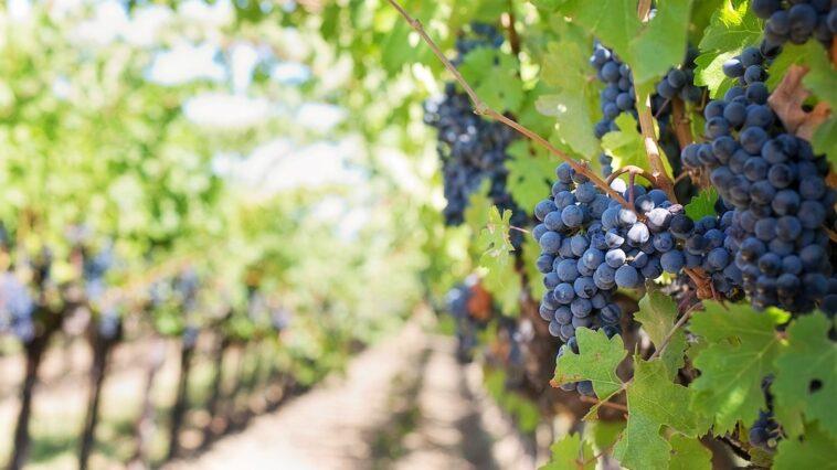 wijngaard - natuurlijke wijn