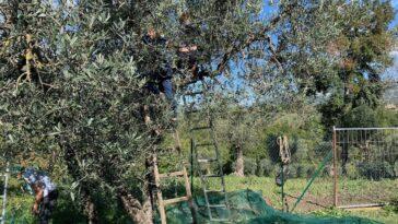 olijvenoogst